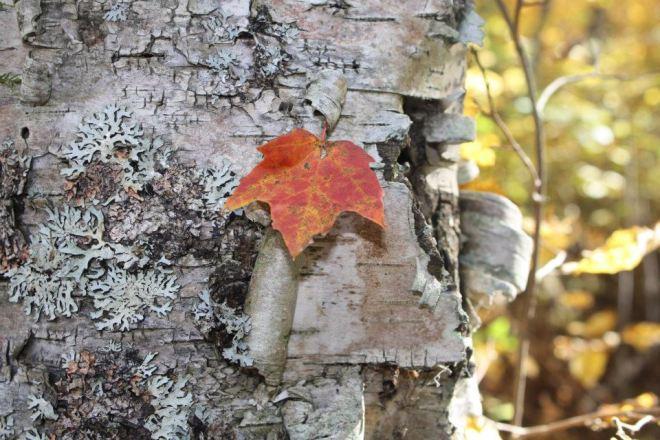 leaf on birch at cabin